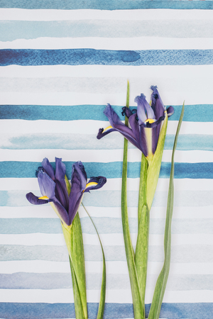 Iris sibirica flowers over striped aquarelle background