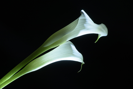 beautiful calla lily flower isolated on black