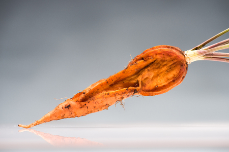 old rotten carrot on reflective surface isolated on grey
