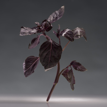 single branch of healthy ripe red basil isolated on grey