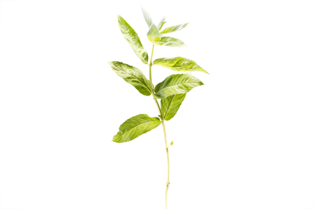 single branch of fresh healthy mint isolated on white