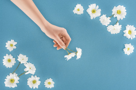 cropped image of female hand with white chrysanthemum flowers isolated on blue