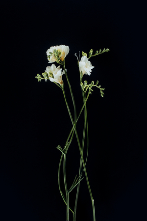 beautiful freesia flowers with stems isolated on black