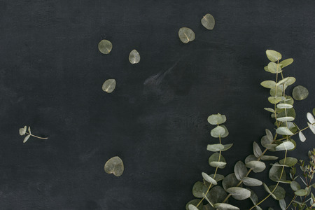 green eucalyptus leaves and branches over black background Stock Photo