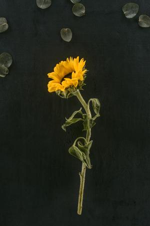 beautiful blooming sunflower isolated on black Reklamní fotografie