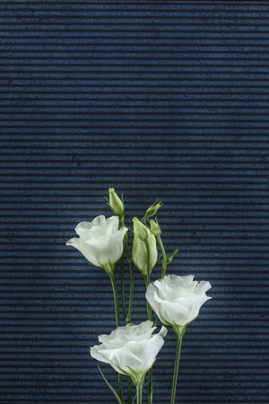 beautiful eustoma flowers over stripped background