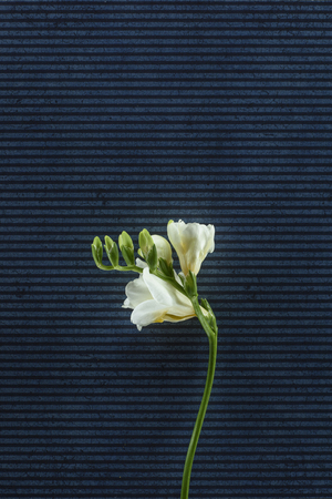 blooming freesia flowers over stripped background
