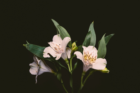 close-up view of beautiful tender flowers with green leaves isolated on black Zdjęcie Seryjne