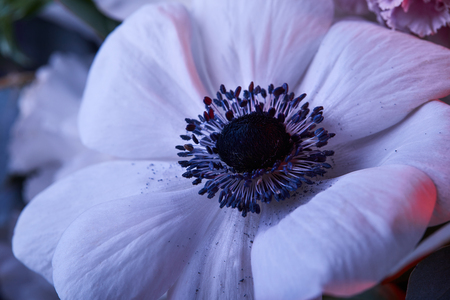 white anemone flower with stamens