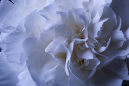 one white carnation flower in reflecting vase with water