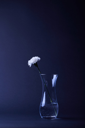white carnation flower bud with petals