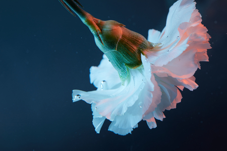 close up view of carnation flower in water