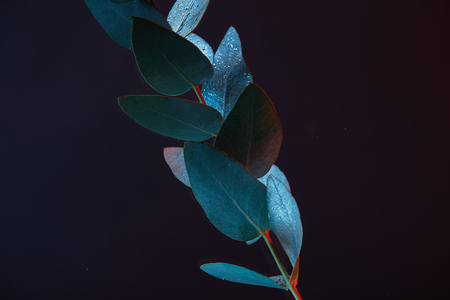 close up view of eucalyptus plant with green leaves in water