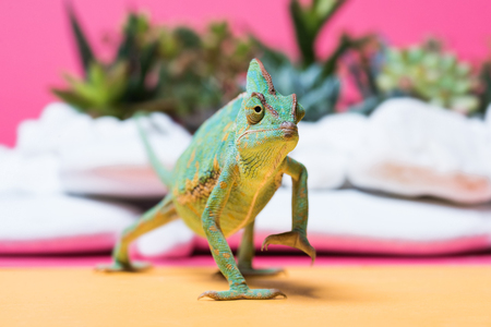 close-up view of cute colorful chameleon crawling on pink