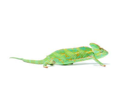 side view of beautiful colorful tropical chameleon isolated on white