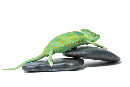 side view of cute colorful tropical chameleon on stones isolated on white  Stock fotó