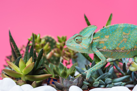 side view of cute colorful chameleon crawling on stones and succulents isolated on pink 스톡 콘텐츠