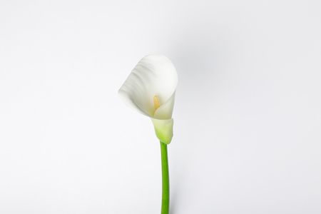 White calla flower isolated on white
