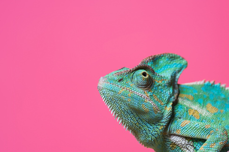 close-up view of cute colorful exotic chameleon isolated on pink Standard-Bild