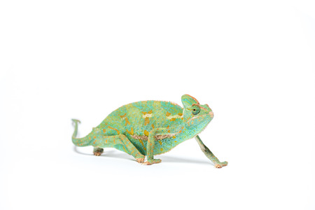 colorful tropical chameleon crawling isolated on white Stock Photo