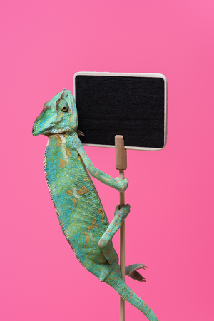 cute colorful chameleon crawling on blank board isolated on pink