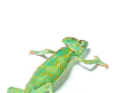 beautiful colorful tropical chameleon crawling isolated on white