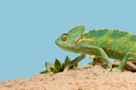 side view of beautiful exotic chameleon on sand with succulents isolated on blue Stock fotó