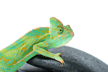 close-up view of cute colorful chameleon on stones isolated on white
