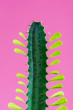close-up view of beautiful green cactus with thorns and leaves isolated on pink