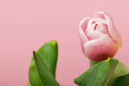 Tender blooming pink tulip isolated on pink  background
