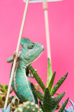 close-up view of colorful tropical chameleon on green succulents isolated on pink