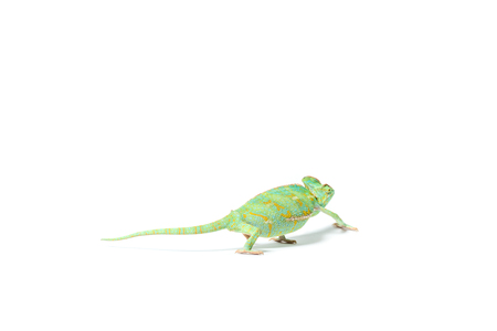 close-up view of colorful tropical chameleon crawling isolated on white     Stock fotó