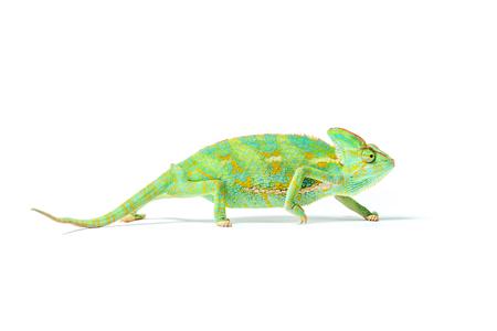 vergrote weergave van kleurrijke tropische kameleon geïsoleerd op wit Stockfoto