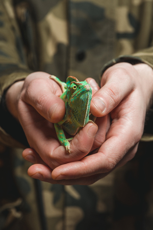 close-up partial view of man holding beautiful colorful chameleon