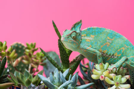 cute colorful chameleon crawling on succulents isolated on pink