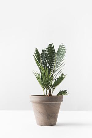 Vista cercana de la hermosa planta casera verde que crece en maceta en blanco