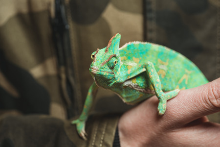 cropped shot of man holding beautiful colorful chameleon  Фото со стока