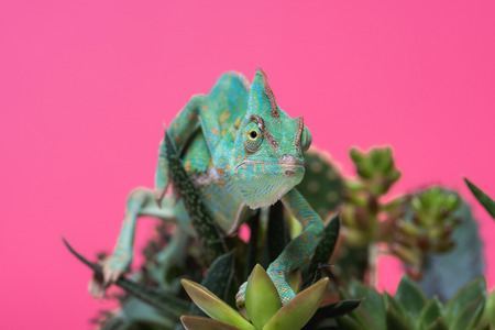 close-up view of beautiful tropical chameleon crawling on succulents isolated on pink