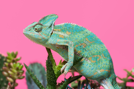side view of funny tropical chameleon crawling on succulents isolated on pink Stock Photo