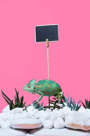 cute colorful chameleon crawling on stones and succulents, blank sign isolated on pink