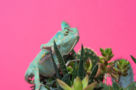 close-up view of chameleon crawling on succulents isolated on pink  스톡 콘텐츠