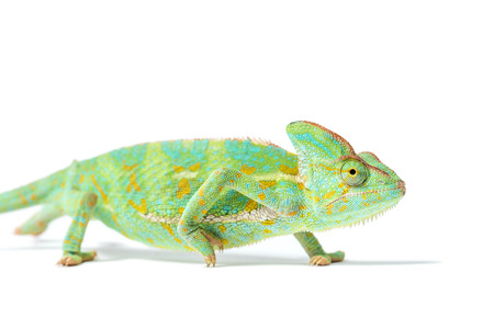 close-up view of beautiful tropical chameleon isolated on white