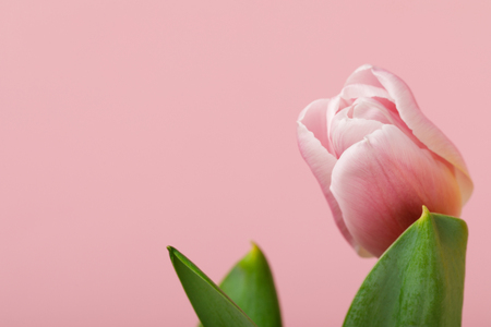 Spring flower tulip isolated on pink background