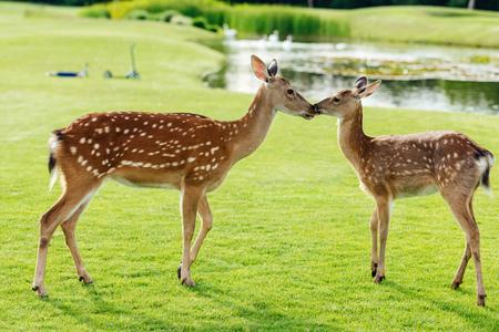 herd of beautiful young brown deer standing on green meadow in park