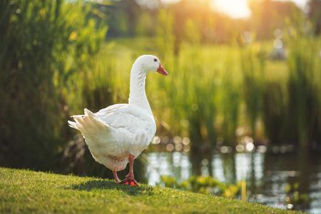 white goose walking on green grass near lake in sunlight