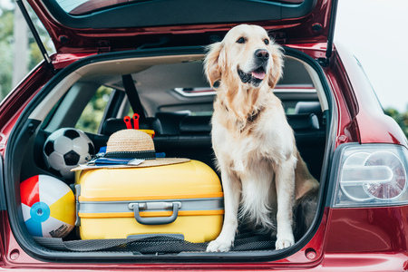 Lindo perro golden retriever sentado en el maletero del coche con equipaje para viaje