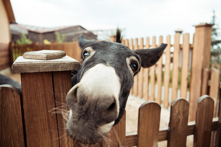 close up view of little donkey looking at camera in zoo Stock Photo