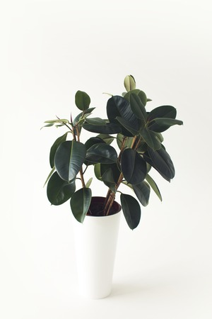 close up of green ficus plant, isolated on white, minimalistic style Banco de Imagens