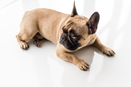 purebred french bulldog lying on floor and looking away Stock Photo