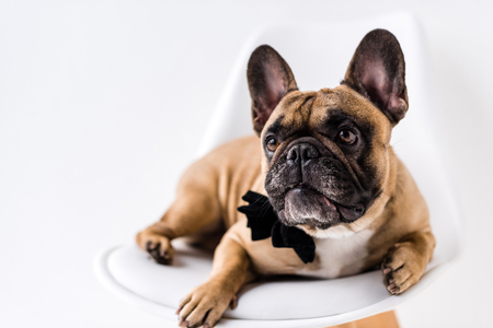close-up view of purebred french bulldog with black bow tie lying on chair Stock Photo